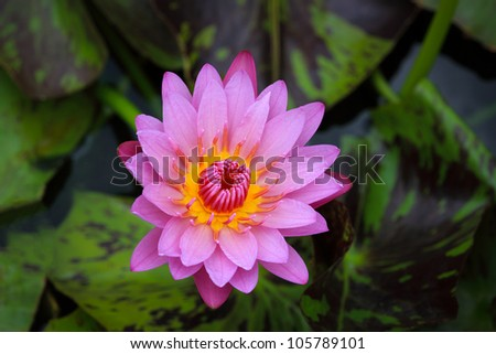 pink water lily with lotus leaf - stock photo