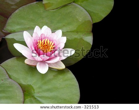 Pink Water Lily with Room for Text to the Right