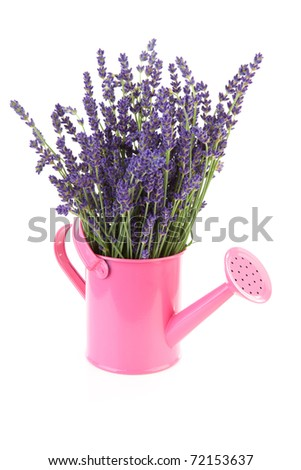 Pink watering can with plucket lavender over white background