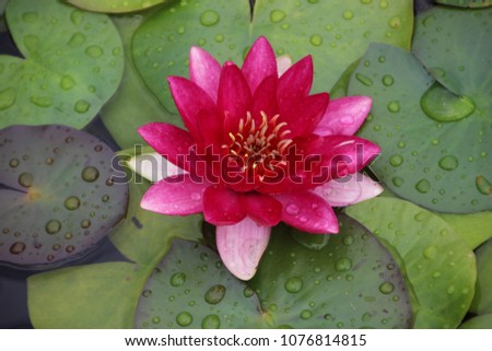 Pink Waterlily After Rain