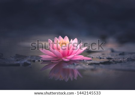 pink waterlily or lotus flower in pond