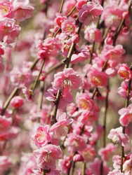 Pink weeping plum blossom blooming in front of blurred background