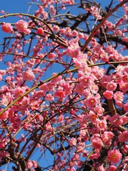 Pink weeping plum blossom blooming in the park