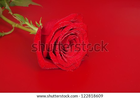 Pink wet rose flower on the red background, shallow depth of field