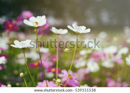 Pink white cosmos flowers selective focus vintage style ez canvas pink white cosmos flowers selective focus vintage style mightylinksfo