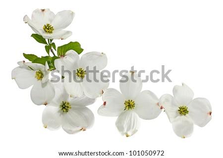 Pink white dogwood blossom spring flower isolated on white