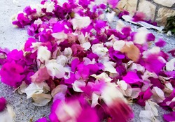 pink white purple bougainvillea petals cover cement road. Dry fallen colorful flowers on street Summer holidays greek islands