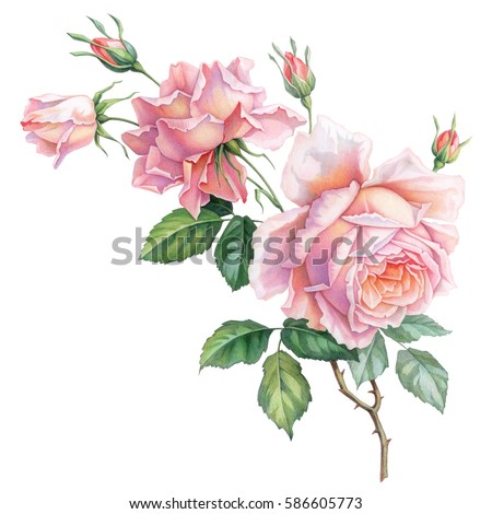 Pink white vintage roses  flowers isolated on white background. Colored pencil watercolor illustration