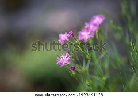 pink wild carnation flower focus on foreground