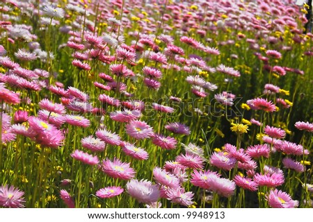 pink wild-flowers in a field at springtime - stock photo