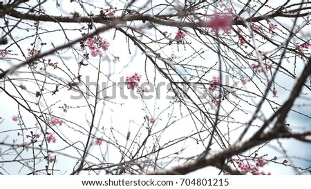 Pink wild Himalayan cherry flower blooming in blue sky in Dalat city, Vietnam. Its Vietnamese name is Mai anh dao. It is a deciduous cherry tree found in East Asia, South Asia and Southeast Asia.  #704801215