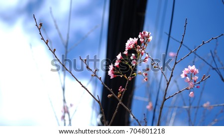 Pink wild Himalayan cherry flower blooming in blue sky in Dalat city, Vietnam. Its Vietnamese name is Mai anh dao. It is a deciduous cherry tree found in East Asia, South Asia and Southeast Asia.  #704801218