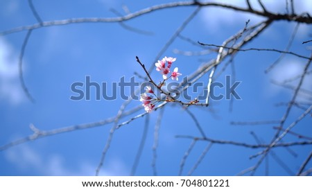 Pink wild Himalayan cherry flower blooming in blue sky in Dalat city, Vietnam. Its Vietnamese name is Mai anh dao. It is a deciduous cherry tree found in East Asia, South Asia and Southeast Asia.  #704801221