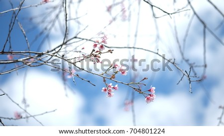 Pink wild Himalayan cherry flower blooming in blue sky in Dalat city, Vietnam. Its Vietnamese name is Mai anh dao. It is a deciduous cherry tree found in East Asia, South Asia and Southeast Asia.  #704801224