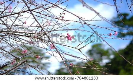 Pink wild Himalayan cherry flower blooming in blue sky in Dalat city, Vietnam. Its Vietnamese name is Mai anh dao. It is a deciduous cherry tree found in East Asia, South Asia and Southeast Asia.  #704801230