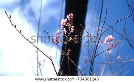 Pink wild Himalayan cherry flower blooming in blue sky in Dalat city, Vietnam. Its Vietnamese name is Mai anh dao. It is a deciduous cherry tree found in East Asia, South Asia and Southeast Asia.  #704801248