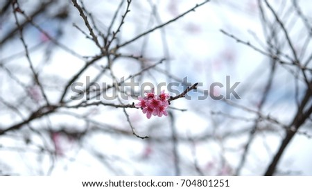 Pink wild Himalayan cherry flower blooming in blue sky in Dalat city, Vietnam. Its Vietnamese name is Mai anh dao. It is a deciduous cherry tree found in East Asia, South Asia and Southeast Asia.  #704801251