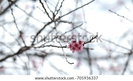 Pink wild Himalayan cherry flower blooming in blue sky in Dalat city, Vietnam. Its Vietnamese name is Mai anh dao. It is a deciduous cherry tree found in East Asia, South Asia and Southeast Asia.  #705936337