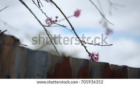 Pink wild Himalayan cherry flower blooming in blue sky in Dalat city, Vietnam. Its Vietnamese name is Mai anh dao. It is a deciduous cherry tree found in East Asia, South Asia and Southeast Asia.  #705936352