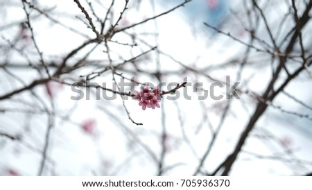 Pink wild Himalayan cherry flower blooming in blue sky in Dalat city, Vietnam. Its Vietnamese name is Mai anh dao. It is a deciduous cherry tree found in East Asia, South Asia and Southeast Asia.  #705936370