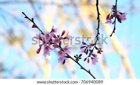 Pink wild Himalayan cherry flower blooming in blue sky in Dalat city, Vietnam. Its Vietnamese name is Mai anh dao. It is a deciduous cherry tree found in East Asia, South Asia and Southeast Asia.  #706940089