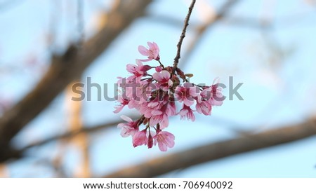 Pink wild Himalayan cherry flower blooming in blue sky in Dalat city, Vietnam. Its Vietnamese name is Mai anh dao. It is a deciduous cherry tree found in East Asia, South Asia and Southeast Asia.  #706940092