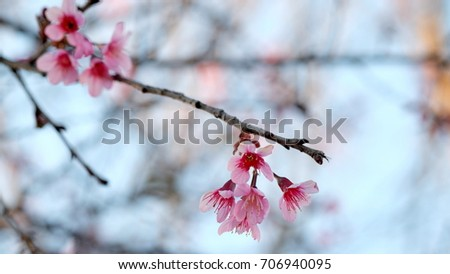 Pink wild Himalayan cherry flower blooming in blue sky in Dalat city, Vietnam. Its Vietnamese name is Mai anh dao. It is a deciduous cherry tree found in East Asia, South Asia and Southeast Asia.  #706940095