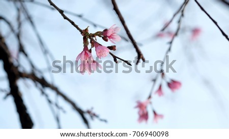 Pink wild Himalayan cherry flower blooming in blue sky in Dalat city, Vietnam. Its Vietnamese name is Mai anh dao. It is a deciduous cherry tree found in East Asia, South Asia and Southeast Asia.  #706940098