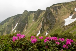 Pink wild rhododendron on a rocky mountain background