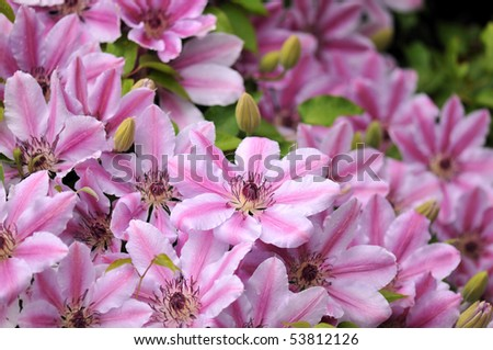 Pink with white striped Clematis Nelly Moser in garden