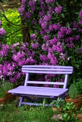 Pink  wooden bench with pink purple flowers of a Rhododendron shrub (Rhododendron roseum elegans) in the background.