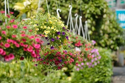 Pink, yellow and puple petunia flowers hanging in plastic pots in nursery garden
