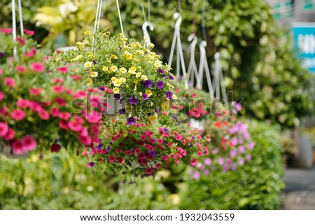 Pink, yellow and puple petunia flowers hanging in plastic pots in nursery garden Stockfoto ©