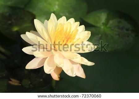 Pink yellow lotus flower
