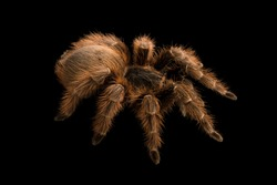 Pink zebra beauty tarantula on black background