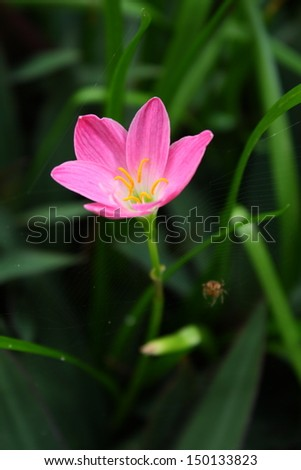 pink zephyranthes lily flower (rain lily ,fairy lily) with tiny spider and its spidery, focus at the flower.  (by normal zoom lens)
