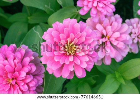 pink Zinnia flower (Zinnia violacea Cav.) in summer garden on sunny day. Zinnia is a genus of plants of the sunflower tribe within the daisy family.