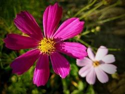 Pinkie Cosmos garden flowers closeup. Colorful Pinkies (Bipinnatus) in bloom. Outdoor gardening photography.