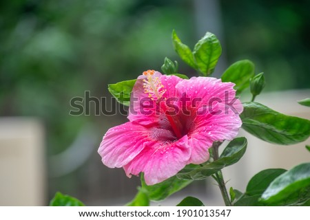 Pinkish colored flower Hibiscus rosa-sinensis, known as Chinese hibiscus, China rose, Hawaiian hibiscus, rose mallow, shoeblack plant, is a species of tropical hibiscus. Selective focus on flower.