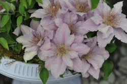 Pinky silver-blue large-flowered Clematis Filigree, selected by the British breeder Raymond Evison, blooms in a white vase on an exhibition in May 2014