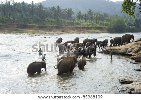 PINNAWELA, SRI LANKA - FEBRUARY 18: Elephants from the Pinnawela Elephant Orphanage on February 18, 2011 in Pinnawela, Sri Lanka. Pinnawela Elephant Orphanage is an orphanage ground for wild elephants