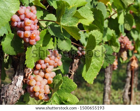 Pinot gris grapes of brownish pink variety, hanging on vine few days before the harvest Foto stock ©
