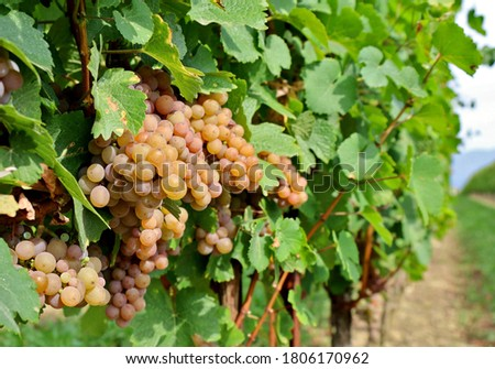 Pinot gris grapes,  pinkish yellow variety, hanging on vine few days before the harvest. Foto stock ©