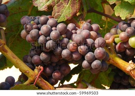 Pinot Noir grapes in the Henry's Winery vineyard in the Umpqua Valley near Roseburg Oregon