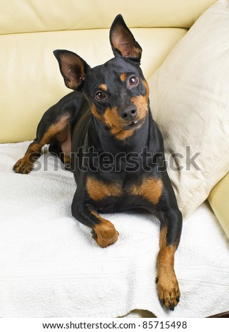 Pinscher dog on the couch