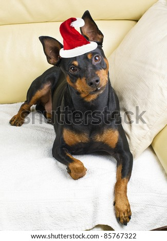 Pinscher dog on the couch with Santa Claus hat