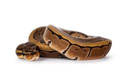 Pinstripe ballpython snake aka Python regius, curled up. Detailed head facing camera. Isolated on white background.