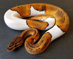 Pinstripe Pied Ball Python, piebald royal snake reptile animal