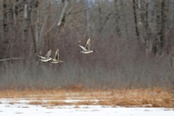 Pintail drakes and hen fly low over a marsh still covered with ice during spring migration into Alaska.