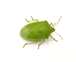 Pinterest Green bug | Green bug | Stink bug, stink beetle, white background